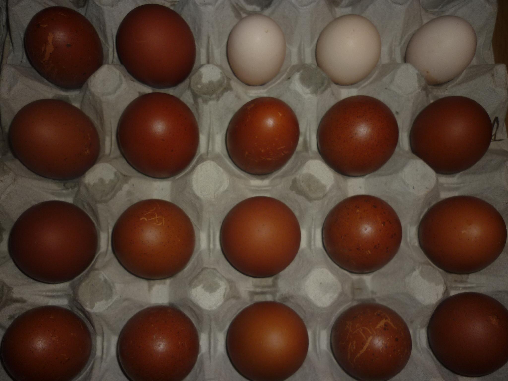 Продажа инкубационного яйца кур, гусей, уток, цесарок, индюков 0042846001481523334