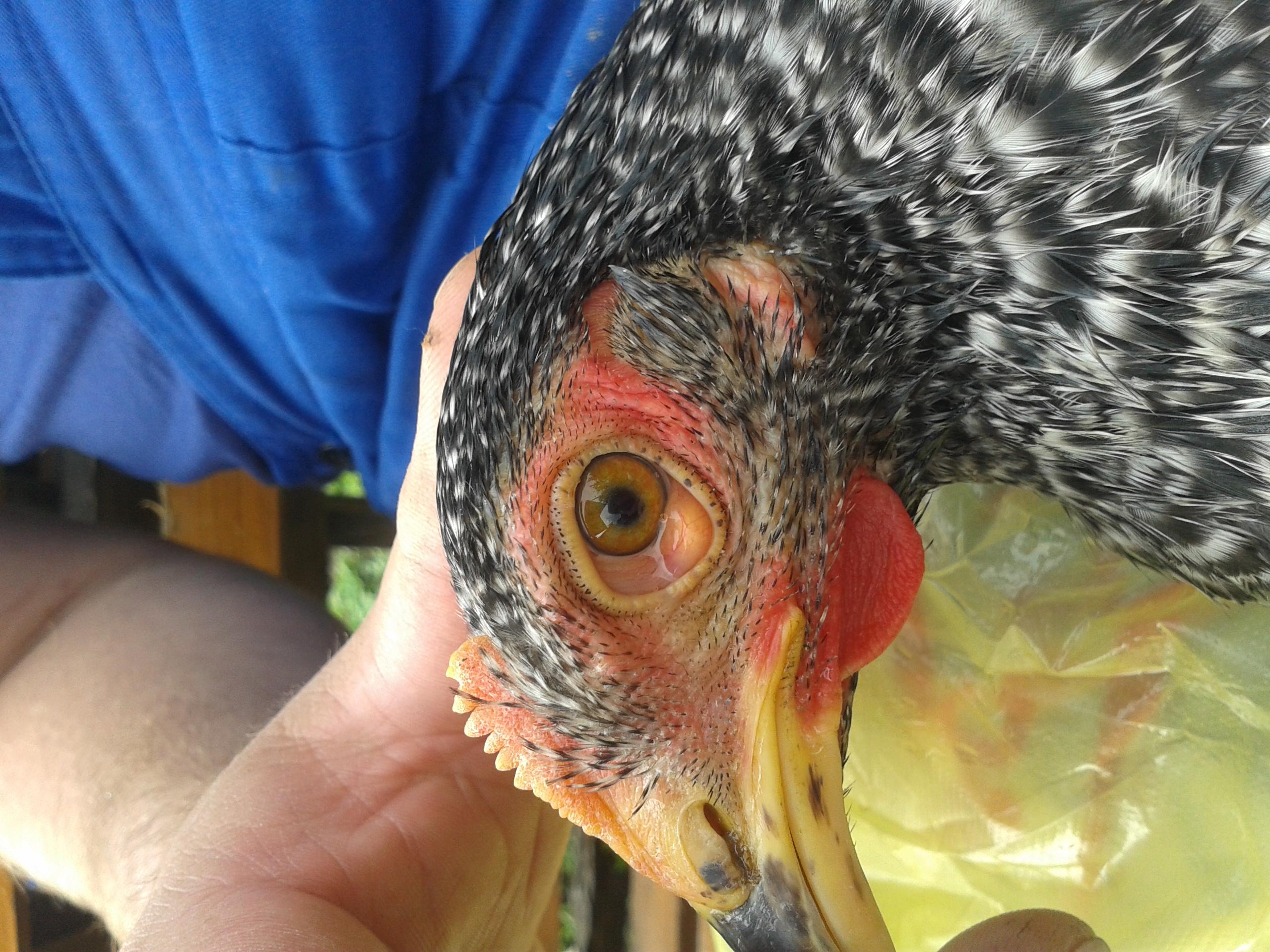 Вопросы и консультации по лечению птицы 0842784001499154050