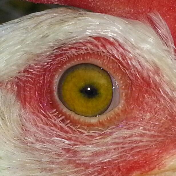 Вопросы и консультации по лечению птицы 0973442001500727700