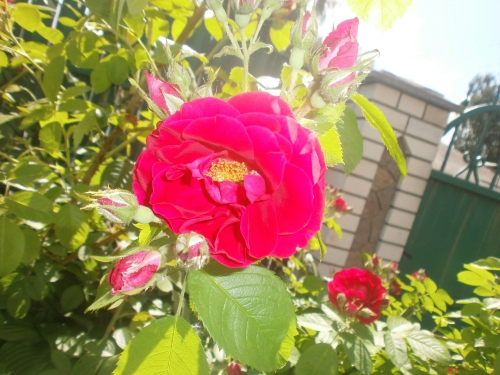Які квіти прикрашають Ваші ґанки, підвіконня, балкони? 0313719001432734842