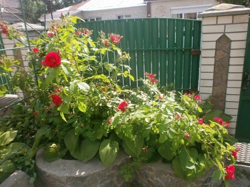 Які квіти прикрашають Ваші ґанки, підвіконня, балкони? 0498706001432734841