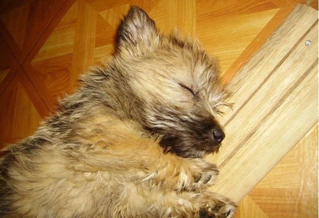 Cairn terrier NOAH-Past_Carin_Terrier_PUP_sleeping