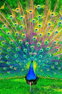 صور الطاوس فلاشية  Peacock-spreading-its-wings_iPhone_m