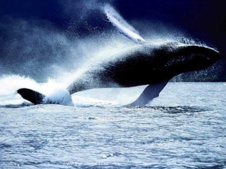 La suite d'image Baleine-sautant