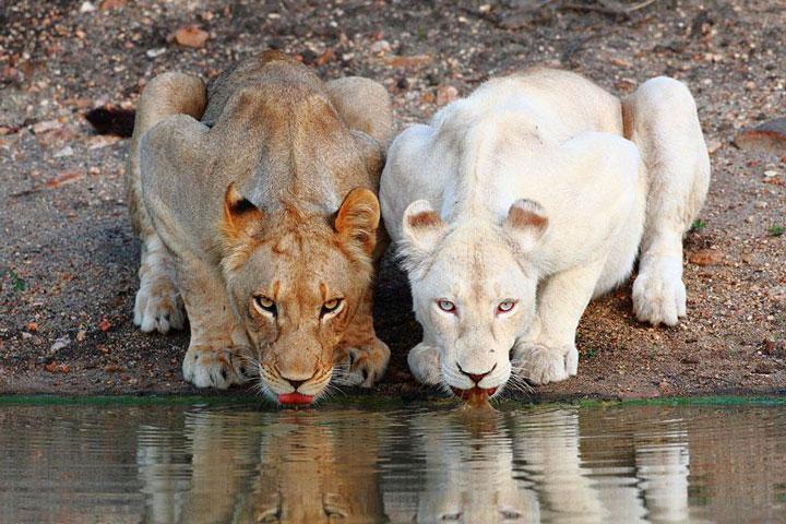 les animaux albinos 59