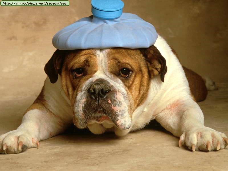 Que pensez-vous de la Une de Charlie? - Page 3 Bulldog-with-headache