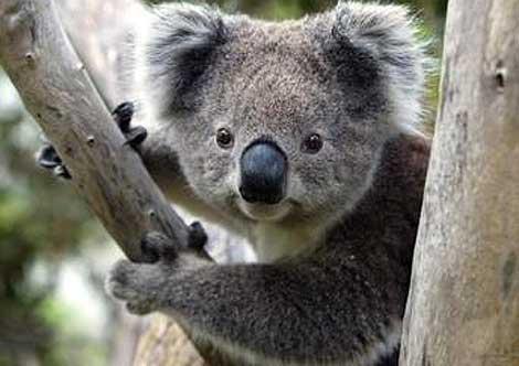 Человеческая жизнь. - Страница 2 Koala