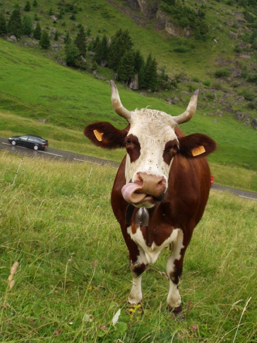 Les belles aux yeux noirs de l'Aubrac Vache_aravis