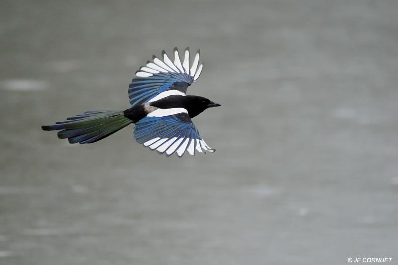oiseau Martin 6 avril trouvé par Martine Pie-bavarde07-2009