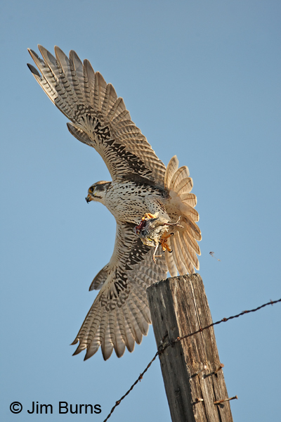 Falconiformes. sub Falconidae - sub fam Falconinae - gênero Falco - Página 2 Prairie-Falcon-alula-deploy