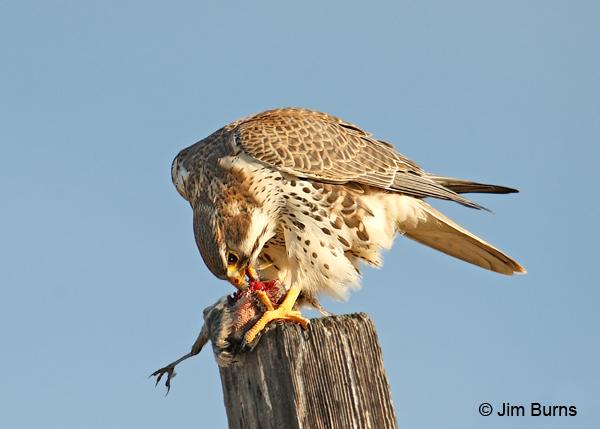 Falconiformes. sub Falconidae - sub fam Falconinae - gênero Falco - Página 2 Prairie-Falcon-breakfast