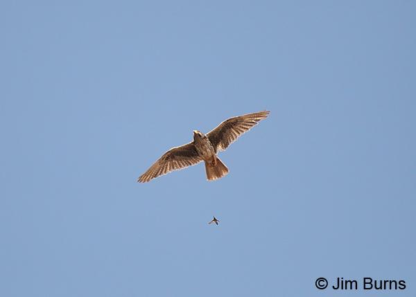 Falconiformes. sub Falconidae - sub fam Falconinae - gênero Falco - Página 2 Prairie-Falcon-harrassed-by