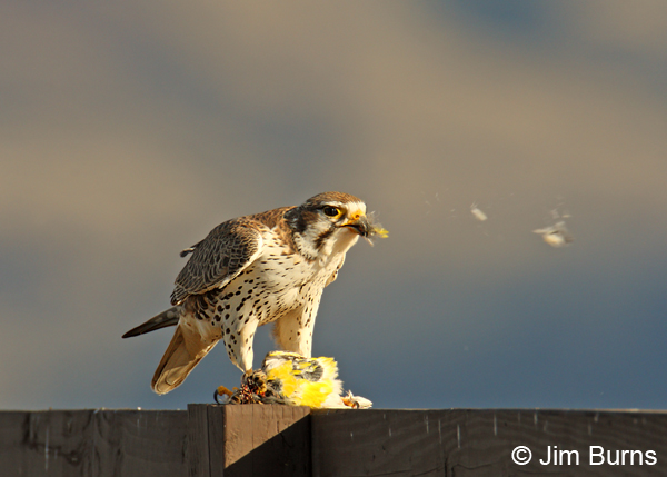 Falconiformes. sub Falconidae - sub fam Falconinae - gênero Falco - Página 2 Prairie-Falcon-plucking-Wes