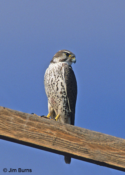 Falconiformes. sub Falconidae - sub fam Falconinae - gênero Falco - Página 2 Prairie-Falcon