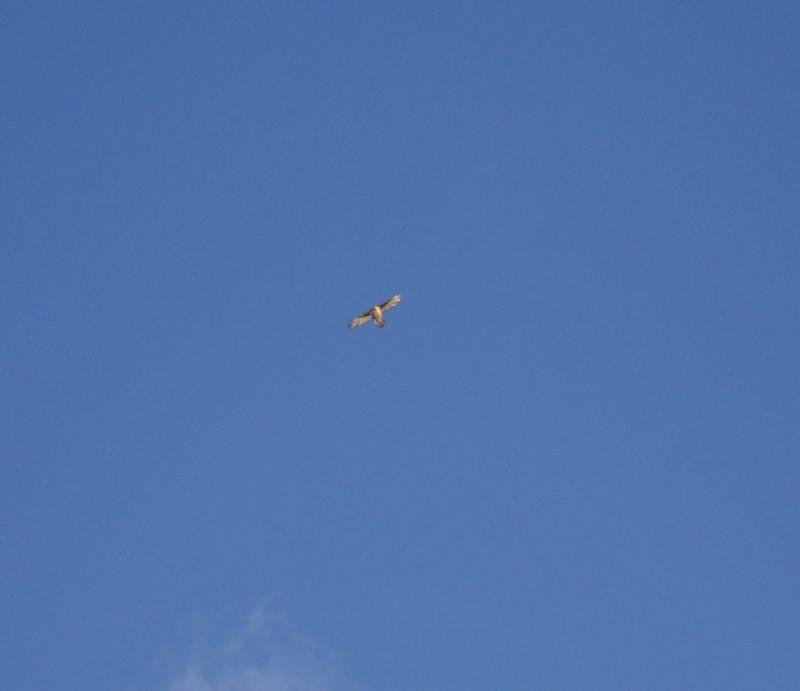 Le Gypaète barbu Oiseau