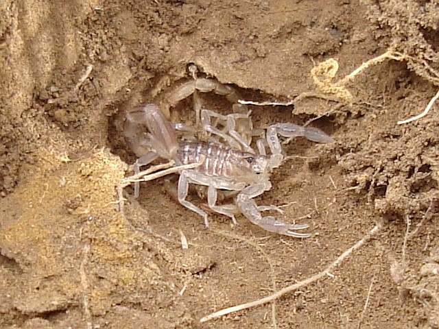 Ok, cure me please: SPIDERS! - Page 4 Recently-molted-scorpion-1