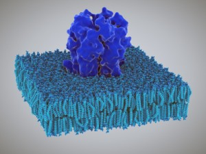 Proteins: how they provide striking evidence of design Receptor-molecule-embedded-in-membrane--300x225