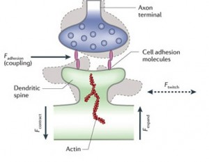 Proteins: how they provide striking evidence of design Spines-communication-crop-actin--300x233