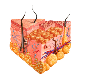 The Remarkable Language of Cells FEATURE-SKIN-POST-bigstock-Human-Skin-Cutaway-Diagram-Wi-30332297-300x272