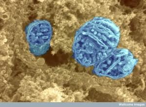 The astonishing  language written on microtubules, amazing evidence of  design Mito-B0003650-300x221