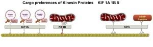 The astonishing  language written on microtubules, amazing evidence of  design Mitochondria-Kinesian-snp-CROP--300x93