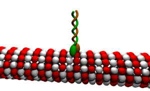 The astonishing  language written on microtubules, amazing evidence of  design Moez-wik-Kinesin_cartoon-300x182