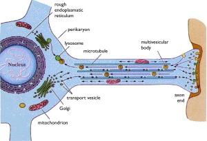The astonishing  language written on microtubules, amazing evidence of  design Neuron-transport--300x205
