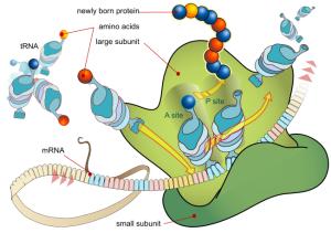 The astonishing  language written on microtubules, amazing evidence of  design PD-FEATURE-Ribosome_mRNA_translation_en-300x211