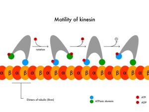 The astonishing  language written on microtubules, amazing evidence of  design PD-Motility_of_kinesin_en-300x226