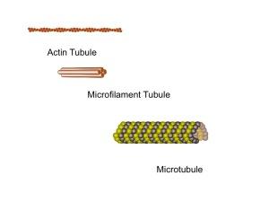 The astonishing  language written on microtubules, amazing evidence of  design Three-tubules--300x225