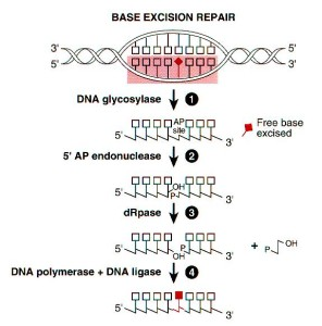 DNA and RNA error checking and  repair, amazing evidence of design Base-Excision-Repair-296x300