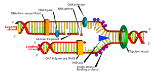 DNA and RNA error checking and  repair, amazing evidence of design PD-helicase-DNA_replication_en-300x146
