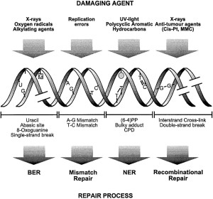 DNA and RNA error checking and  repair, amazing evidence of design Damage-and-types-of-repair--300x280