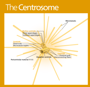 The astonishing  language written on microtubules, amazing evidence of  design Kelvinsong-wik-Centrosome_standalone_version-en-300x289