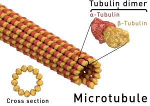 The astonishing  language written on microtubules, amazing evidence of  design Thomas-Splettstoesser-wik-Microtubule_structure-300x212