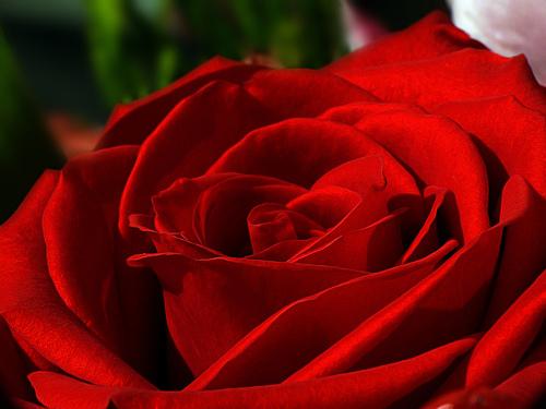 Mantra e Canto Gregoriano Red-rose