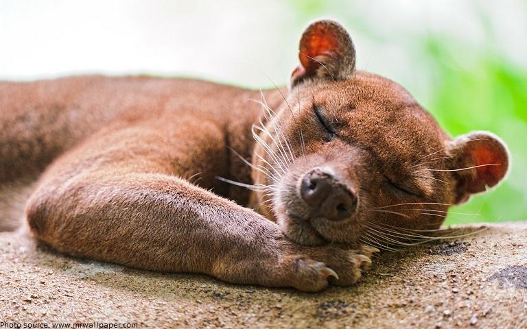 los Purupechas descubren el Angamuco Fossa-sleeping