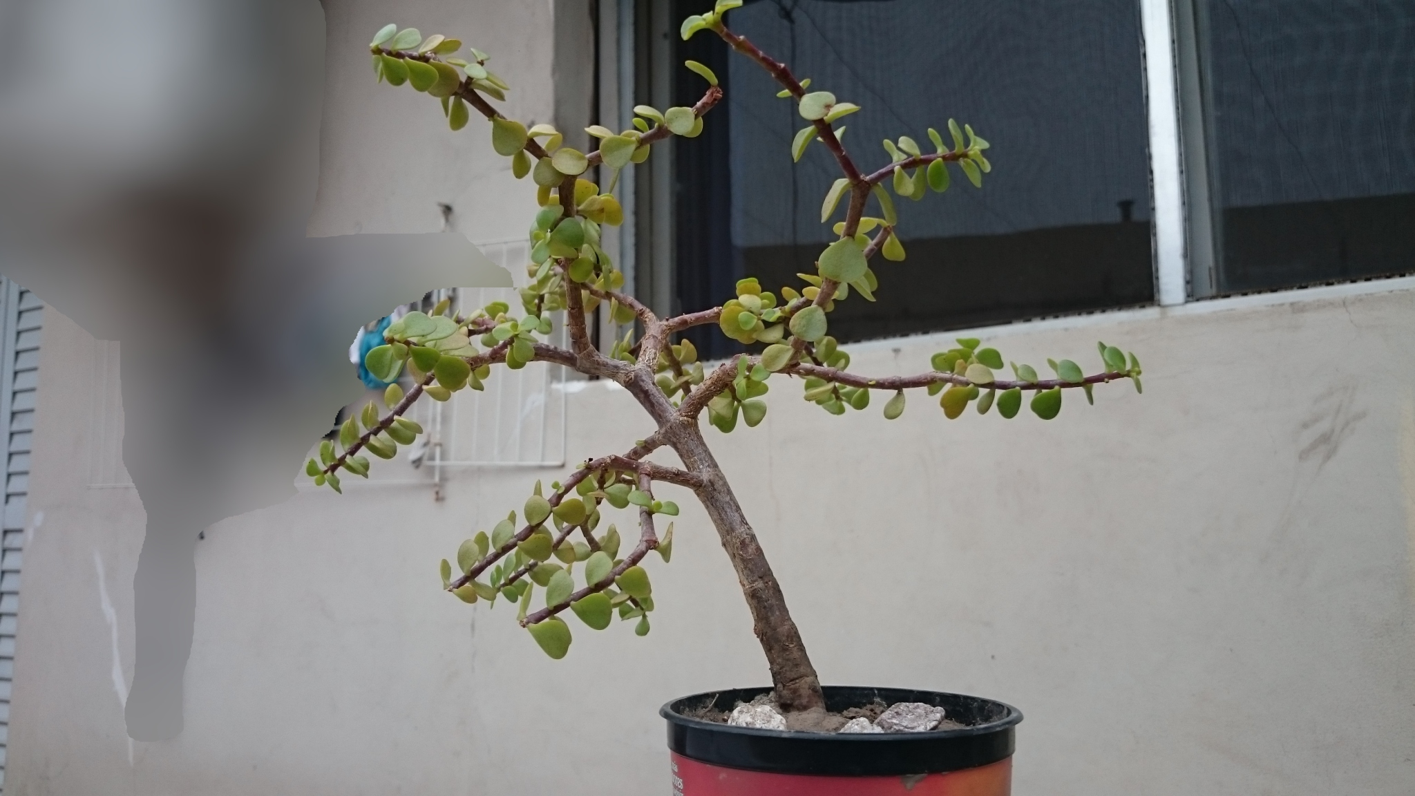 Forma adecuada para bonsai B84B86E1C