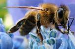 العسل أفضل غذاء للأطفال والشباب والكبار،  Stern_honey_bee