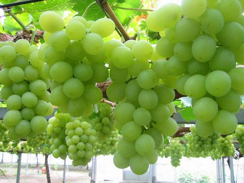 عنقود عنب كرمليسي للعضو الغائب / جون شمعـون آل سُوسْو  Grape_Seed_41414