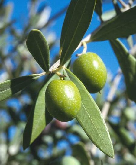 عالج نفسك بزيت الزيتون  Olive_01