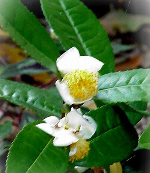 فوائد الشاي الأخضر Green_tea_02