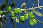 عالج نفسك بزيت الزيتون  Olive_tree_web