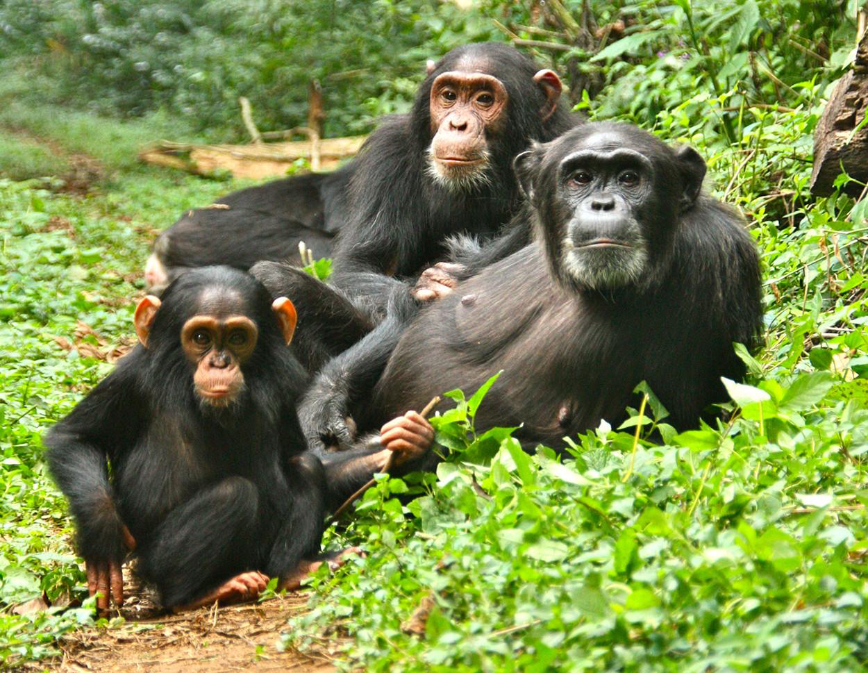 Les arbres sont ma cachette Chimpanzees-in-kibale-forest