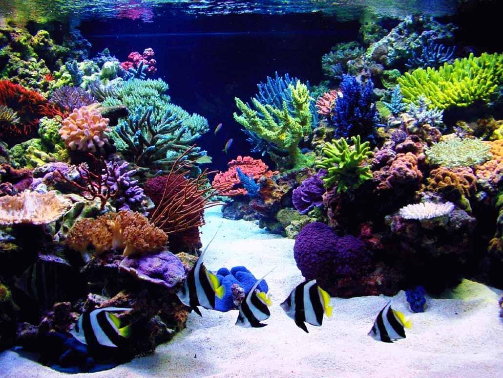 кораллы Korally_rif_kartinki_foto_04