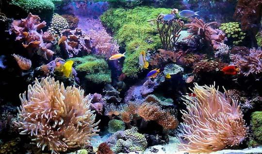 кораллы Korally_rif_kartinki_foto_10