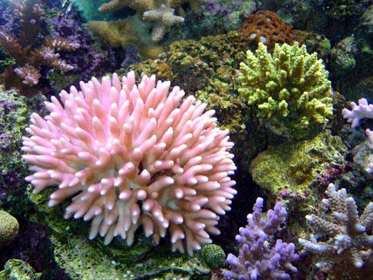 кораллы Korally_rif_kartinki_foto_11