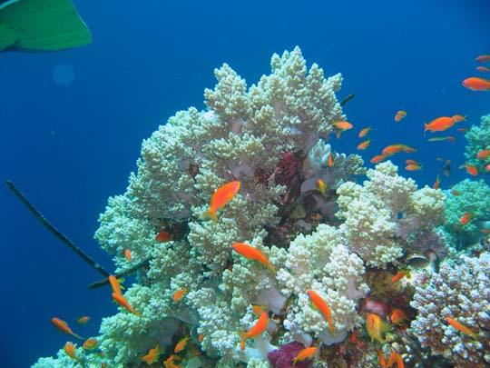 кораллы Korally_rif_kartinki_foto_12