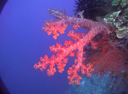 кораллы Korally_rif_kartinki_foto_13