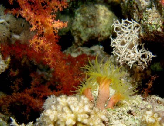 кораллы Korally_rif_kartinki_foto_15